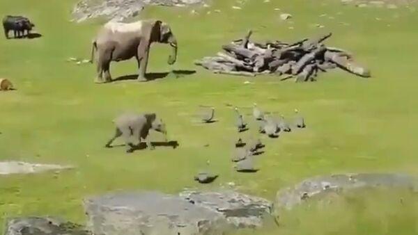 Baby Elephant Chasing Little Turkeys - Sputnik International
