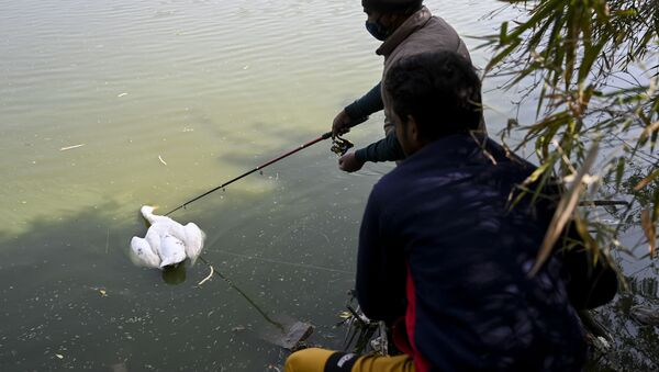 A caretaker prepares to collect a dead goose from the waters of Sanjay Lake in New Delhi on January 10, 2021 - Sputnik International