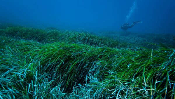 A picture from the University of Barcelona shows the underwater view of a meadow of Posidonia Oceanica seagrass in the Mediterranean Sea. - Sputnik International