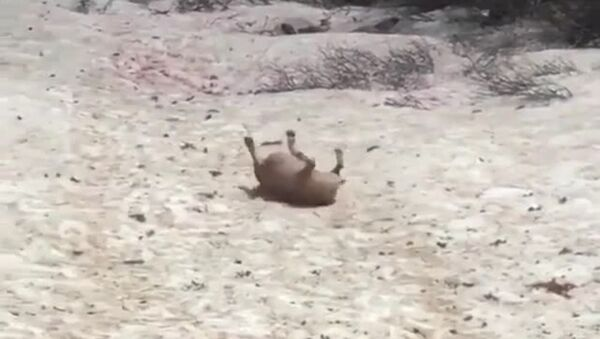 sliding bulldog - Sputnik International