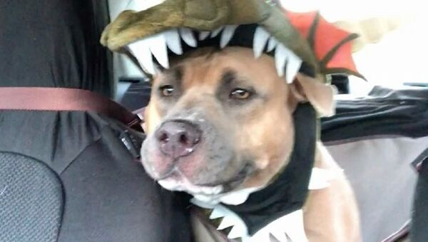 Well, I don't know about you, but I actually have to dress my pit bull up in a costume to make him look like a MOnster - Sputnik International