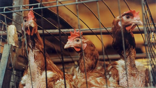 Chickens in one of the poultry farms. - Sputnik International