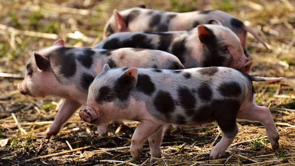 Pig - Sputnik International
