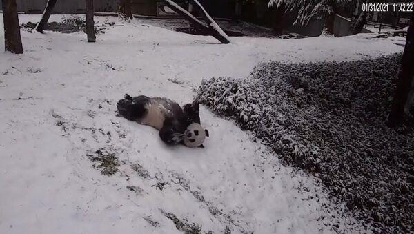 Panda enjoy snowy day at US Smithsonian's National Zoo on February 1, 2021 - Sputnik International