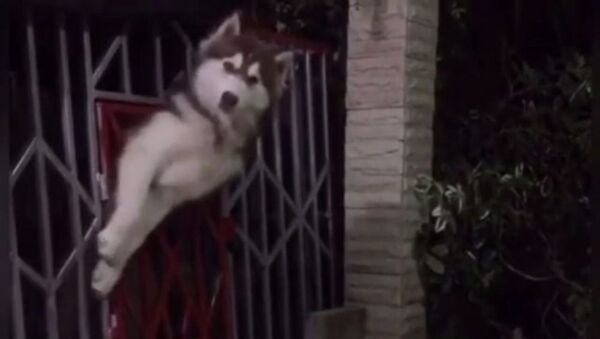 Mission Impossible? Not for This Doggy - Sputnik International