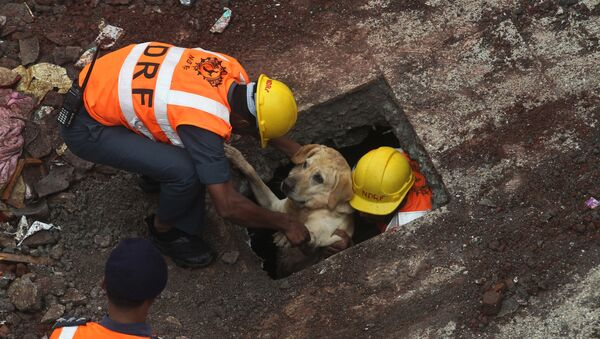 Rescue workers along with their sniffer dog come out after searching for survivors amid the debris of a residential building that collapsed in Bhiwandi, outskirts in Mumbai, India, Sunday, July 31, 2016  - Sputnik International
