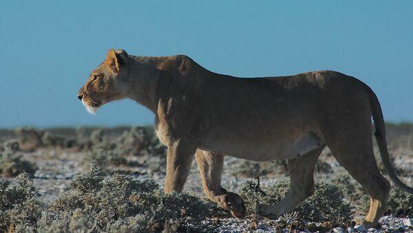 Lioness - Sputnik International