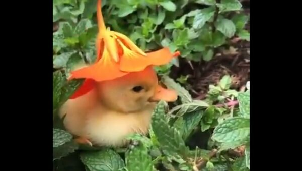 An adorable video has been going viral on Twitter, showing a little yellow duckling chilling in the midst of plants. - Sputnik International