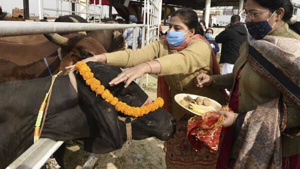 Hindu devotees from the International Society for Krishna Consciousness (ISKCON), worship a cow during the Gopashtami festival that is dedicated to Lord Krishna and cows at Sri Gokul Gaushala on the outskirts of Amritsar on 22 November 2020. - Sputnik International