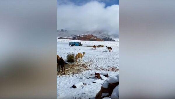 CRAZY SNOW in Saudi Arabia!Сamels covered with snow - Sputnik International
