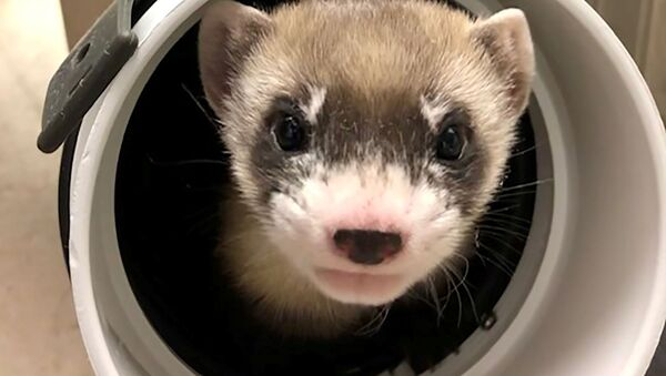 Elizabeth Ann, the first cloned black-footed ferret and first-ever cloned U.S. endangered species, pokes through a pipe at 50-days old at the U.S. Fish and Wildlife Service's (USFWS) National Black-footed Ferret Conservation Center near Fort Collins, Colorado, U.S. January 29, 2021 - Sputnik International