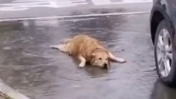 A video of a golden retriever is making the rounds on social media, showing an adorable dog actually celebrating life to the fullest. - Sputnik International
