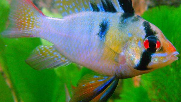 Male Blue Ram fresh water fish - Sputnik International