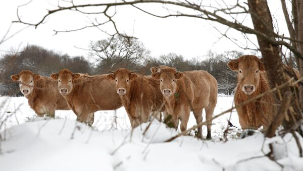 Cows are photographed on a snow-covered meadow in Plounevez-Moedec in the French western region of Brittany, as winter weather with snow and cold temperatures hits a large northern part of the country, France, February 10, 2021 - Sputnik International