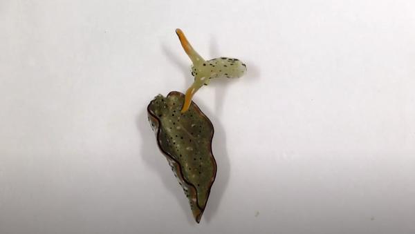 Sea slug after autotomy - Sputnik International