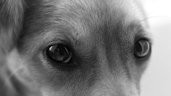 Dog eyes - Sputnik International