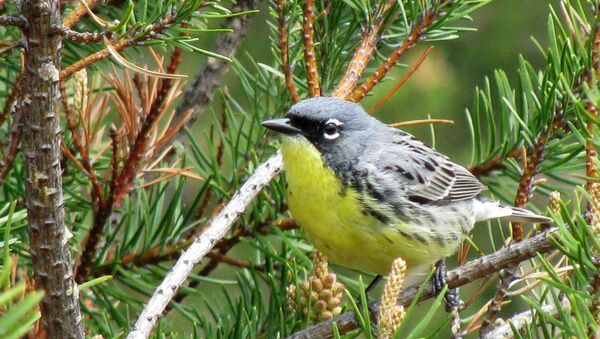 FILE - In this May 19, 2008, file photo, a Kirtland's warbler perches on a branch in the jack pine forests of northern Michigan near Mio, Mich. Federal officials on Wednesday, April 11, 2018, said that it is time to drop the colorful songbird from the endangered species list. The warbler was on the brink of extinction 30 years ago.  (AP Photo/John Flesher, File) - Sputnik International