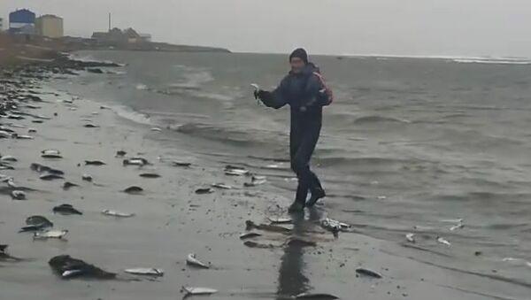 Pacific Ocean herring - Sputnik International