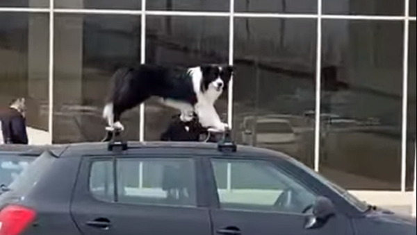 Woof Rack: Amusing Doggo Spotted Atop a Car - Sputnik International