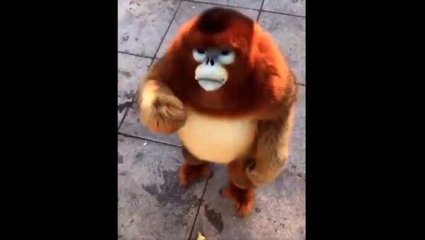 Golden snub-nosed monkey enjoying free snacks - Sputnik International