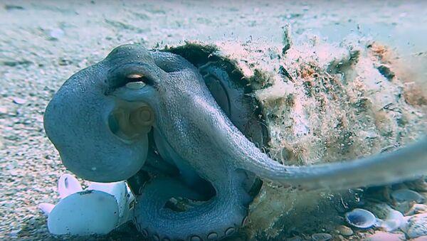 Baby Octopus Resting in New Aluminum Can Home || ViralHog - Sputnik International