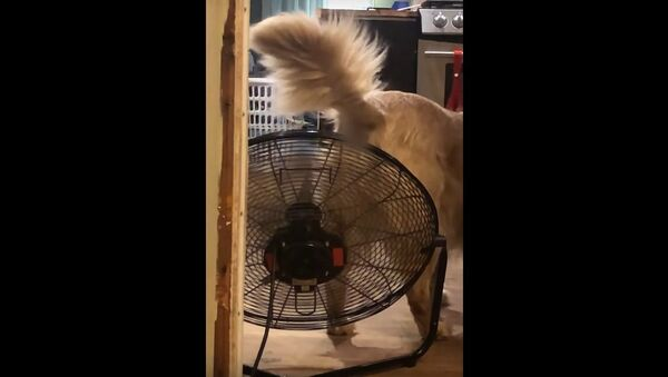 Fan Cools Down Retriever's Rump || ViralHog - Sputnik International