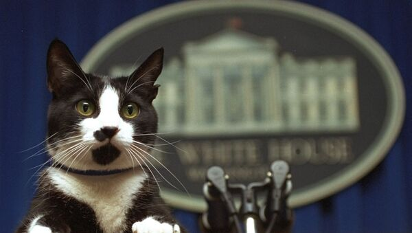 In this March 19, 1994 file photo, Socks the cat peers over the podium in the White House briefing room in Washington. - Sputnik International