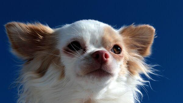 Chihuahua - Sputnik International