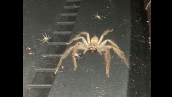 Huntsman spider and its babies - Sputnik International