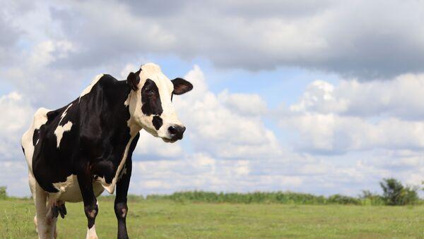 PETA India rescued a cow and named it Kim 'Kowdashian' to honour reality show star Kim Kardashian for her contribution to animal protection. - Sputnik International