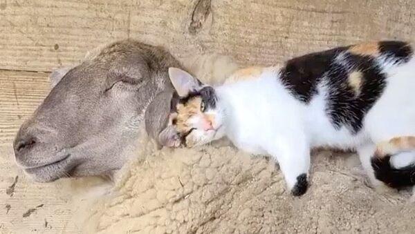Sheep and cat - Sputnik International
