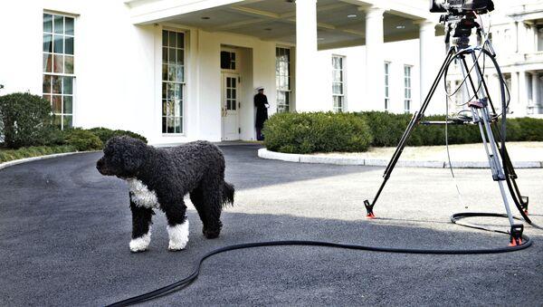 Bo, US President Barack Obama's dog, is seen outside the West Wing of the White House February 11, 2014 in Washington, DC.  - Sputnik International