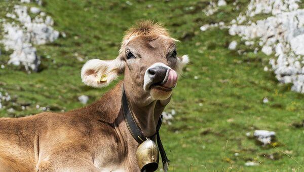 Cow - Sputnik International