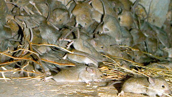 Mouse plague. - Sputnik International