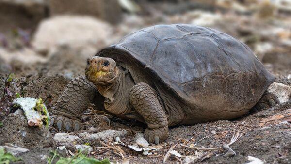 A photo of Fernandina Island Galápagos tortoise thought previously to be extinct - Sputnik International