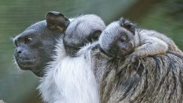Pied tamarin twins babies seat on the back of their mother Lia at the zoo in Erfurt, Germany, Monday, Aug. 10, 2015. The two babies, whose gender is not yet known, were born on July 31, 2015. - Sputnik International