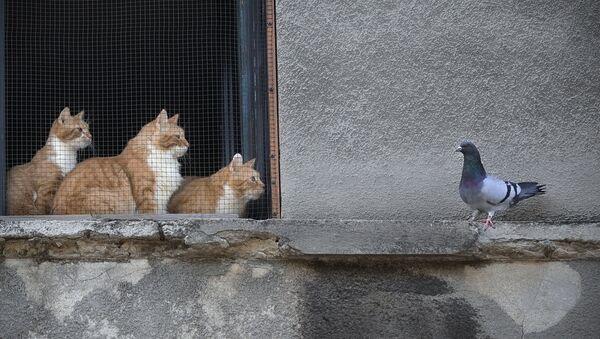 Cats stare at a pigeon from inside a window in Bucharest, Romania, Thursday, April 23, 2020. (AP Photo/Vadim Ghirda) - Sputnik International