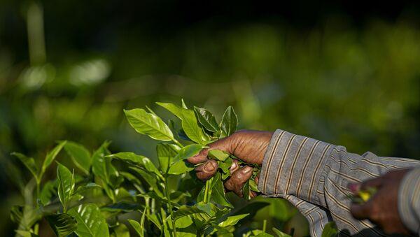 An Indian laborer plucks tea leaves at a tea garden on the outskirts of Gauhati, northeastern Assam state, India, Wednesday, Oct. 28, 2020.  - Sputnik International