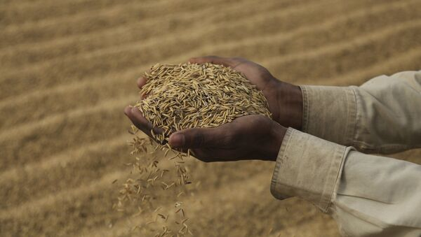 An Indian laborer dries rice crop on the outskirts of Jammu, India, Friday, Dec. 11, 2020 - Sputnik International