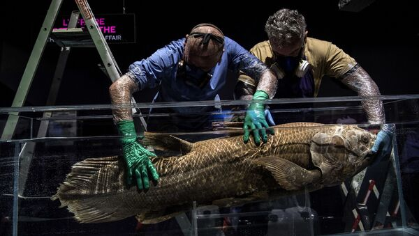 (FILES) In this file photograph taken on 29 March 2019, taxidermists install a coelacanth in a formol-filled tank for the 'Ocean' exhibition ahead of its opening at the National Museum of Natural History (Museum d'Histoire Naturelle) in Paris - Sputnik International