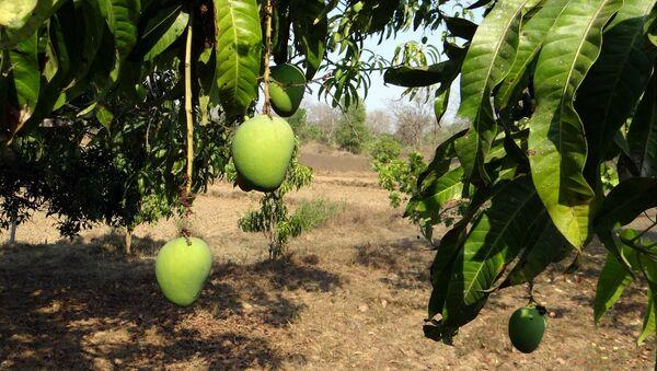 Mango tree - Sputnik International