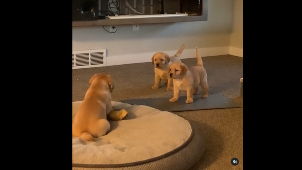 Golden Retriever Puppies - Sputnik International
