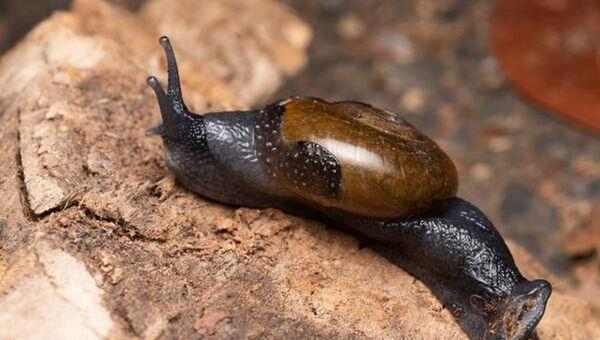 Varadia snail - Sputnik International