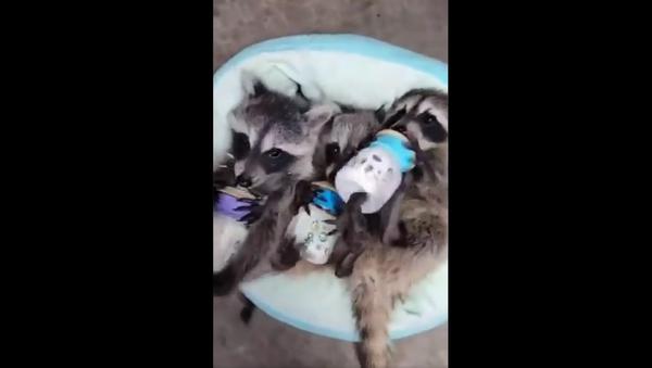 Baby raccoon feeding - Sputnik International