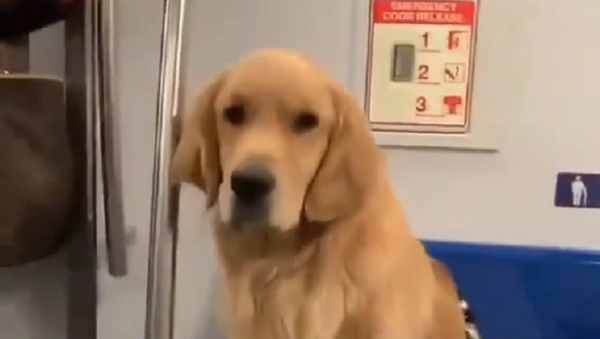 Golden Retriever on a Train - Sputnik International