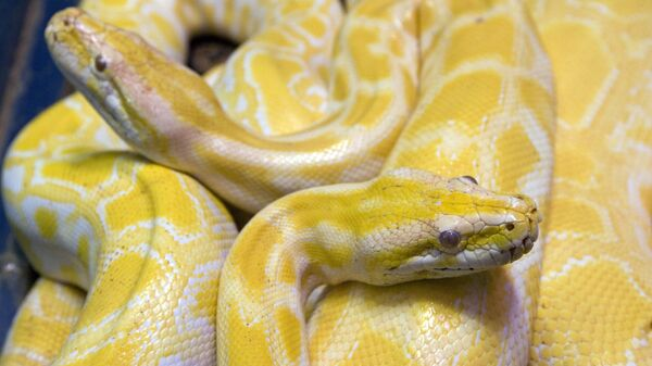 Two albino python snakes are on exhibit at the Butantan Institute in Sao Paulo, Monday, Sept. 29, 2008. - Sputnik International