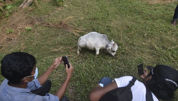 People take pictures of a dwarf cow named Rani, whose owners applied to the Guinness Book of Records claiming it to be the smallest cow in the world, at a cattle farm in Charigram, about 25 km from Savar on July 6, 2021.  - Sputnik International