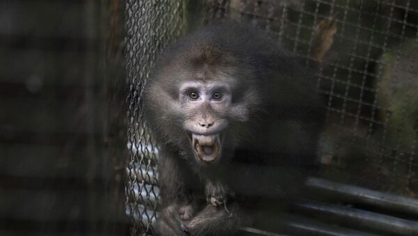 A monkey bares its teeth at visitors in an animal shelter that is part of tourist site in Wuyishan in eastern China's Fujian province on Friday, Aug. 16, 2019 - Sputnik International