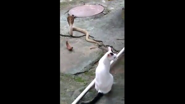 Cat prevents cobra from entering house of its owner in Bhubaneswar - Sputnik International
