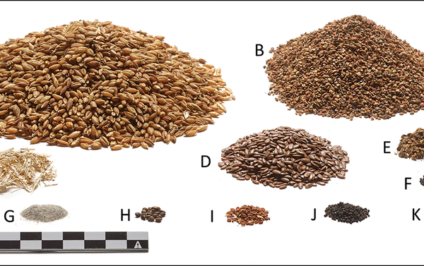 Reconstruction of the ingredients in Tollund Man's last meal, shown in quantities relative to the extant 140ml of intestinal contents: A) barley (Hordeum vulgare); B) pale persicaria (Persicaria lapathifolia s.l.); C) barley rachis segments; D) flax (Linum usitatissimum); E) black-bindweed (Fallopia convolvulus); F) fat hen (Chenopodium album); G) sand; H) hemp-nettles (Galeopsis sp.); I) gold-of-pleasure (Camelina sativa); J) corn spurrey (Spergula arvensis); K) field pansy (Viola arvensis) (photograph by P.S. Henriksen, the Danish National Museum). - Sputnik International